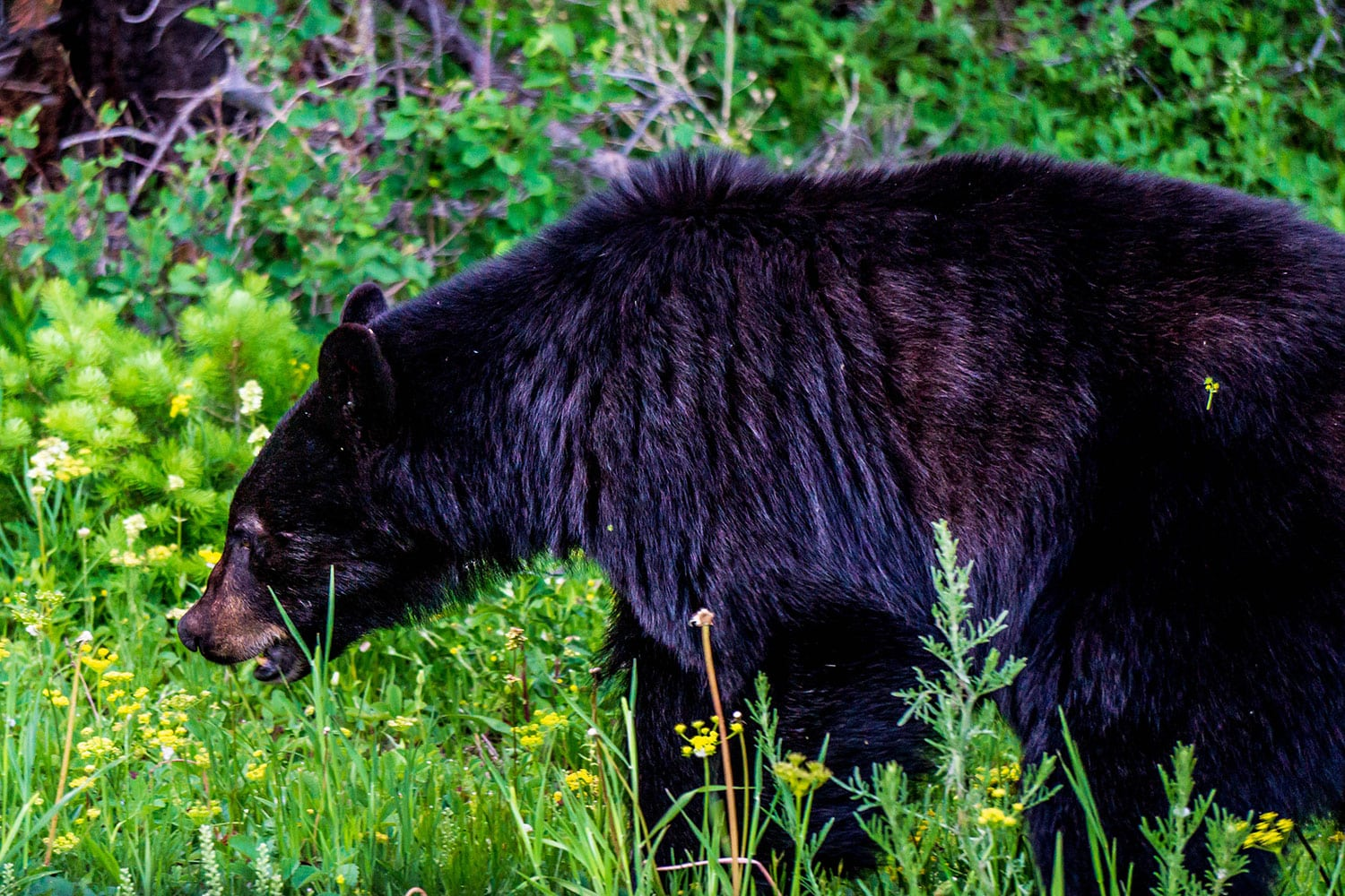 visiting glacier national park: a black bear meanders through the grass